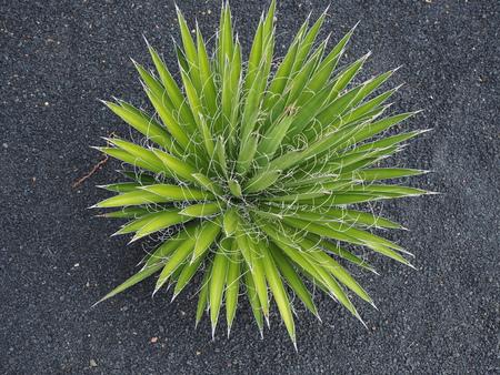 Thread leaf agave (Agave filifera) plant Stock Photo