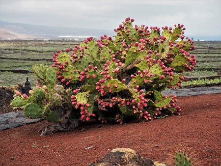 Prickly pear (Opuntia) plant heavily laden with fruit Stock Photo