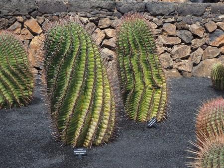 Ferocactus herrerae plants growing in black volcanic soil