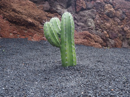 Young branched cactus plant growing in black volcanic soil Stock Photo