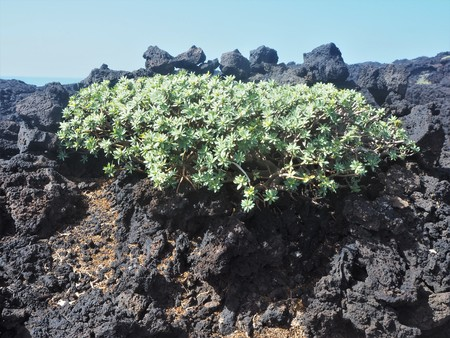 Green verode plant growing in black lava, Lanzarote