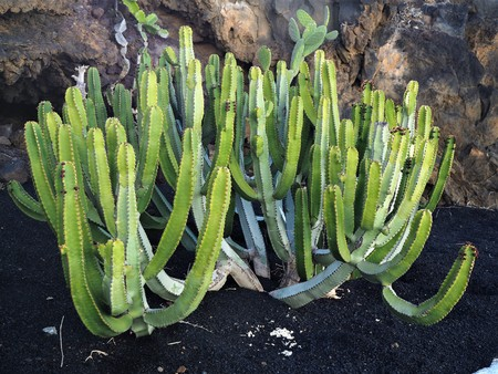 Spurge cactus plant growing in black volcanic soil