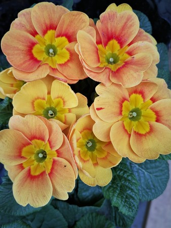 Peach and yellow colored primula flowers Stock Photo