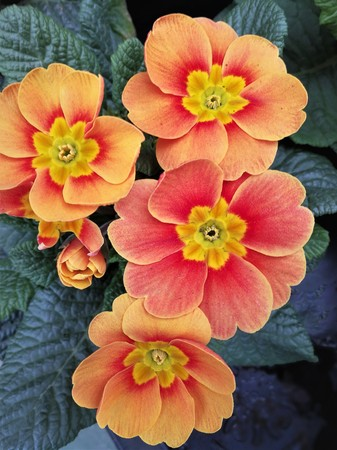 Salmon and yellow coloured primula flowers Stock Photo