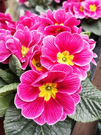 Pink and yellow primula flowers Stock Photo