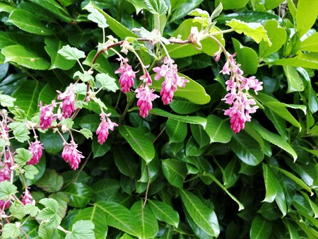 Pink flowers on a flowering redcurrent bush next to green laurel leaves