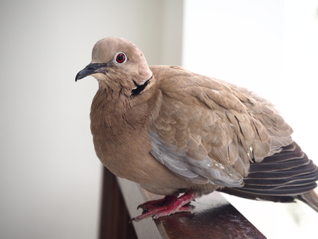 Collared dove (Streptopelia decaocto) close up with plumage details