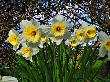 Clump of narcissus flowers beside a hedge