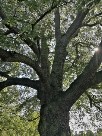 Oak tree with beautiful bark Stock Photo