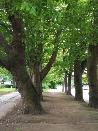 Horse chestnut trees beside a path in York, England