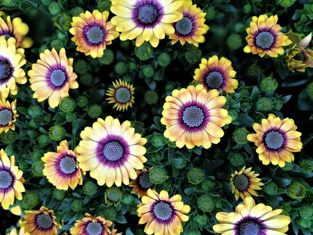 Yellow Osteospermum flowers with purple centres in a flower bed Stock Photo