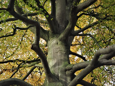 Looking up into an old beech tree with autumn foliage