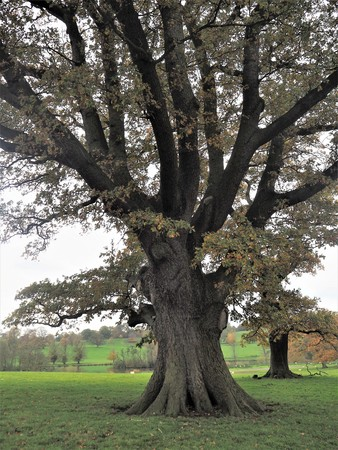 Magnificent oak tree with autumn leaves in a green park at Ripley, North Yorkshire, England Stock Photo
