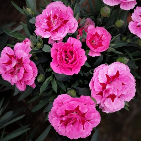 Bright pink carnation flowers with buds and green leaves