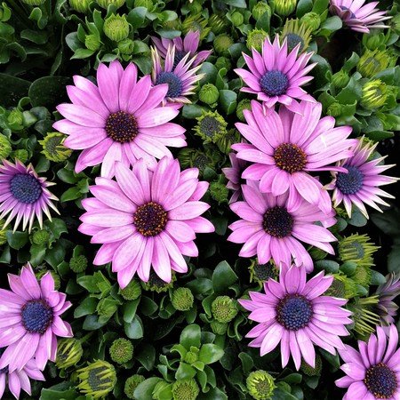 Pretty purple osteospermum flowers with buds and green leaves stock pretty purple osteospermum flowers with buds and green leaves stock photo 99857508 mightylinksfo