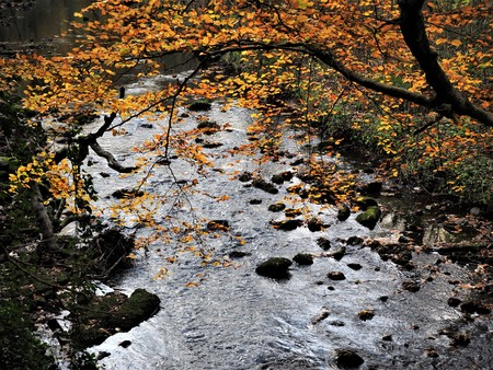 Branch with autumn leaves overhanging the River Wansbeck at Wallington, Northumberland