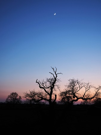 Tree silhouetted against a clear blue sky with a pink glow and a crescent moon at sunset