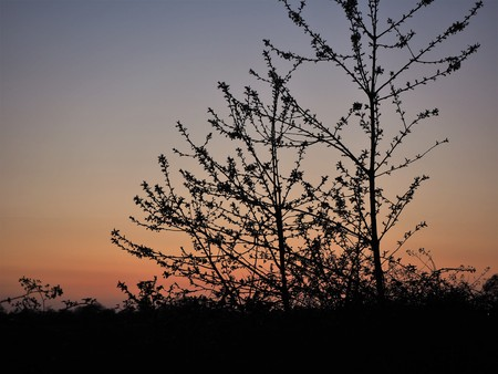 Young trees in winter silhouetted against an orange sky at sunset Stock Photo