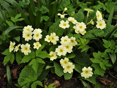 Yellow primrose flowers and green leaves in a spring garden Stock Photo