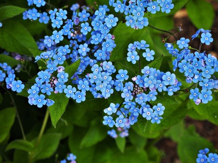 Blue forget-me-not flowers and green leaves in spring