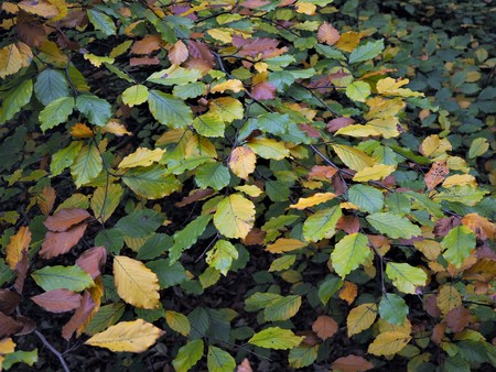 Closeup of colourful autumn leaves on a beech tree Stock Photo