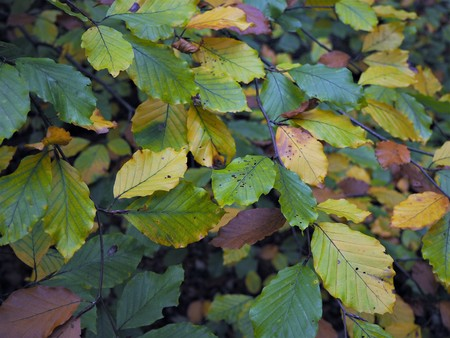 Closeup of autumn leaves on a beech tree