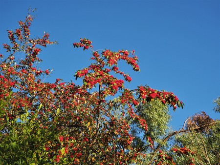 Red berries on a bush in autumn against a clear blue sky Stock Photo