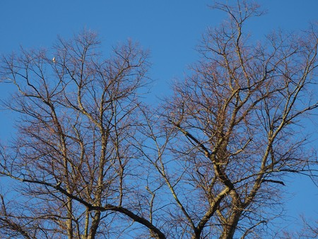 Bare winter branches and a pigeon in a tree against a blue sky Stock Photo