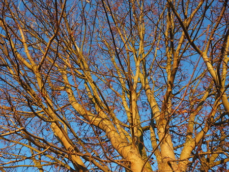 Golden light on bare tree branches in winter against a blue sky