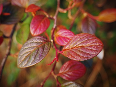 Closeup of bright red and green cotoneaster leaves in autumn