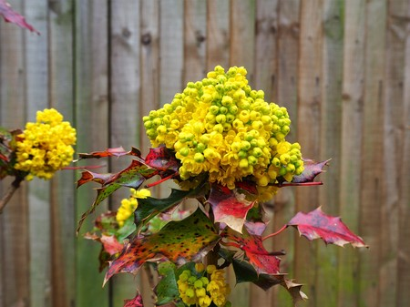 Bright yellow buds and red leaves on a holly bush growing against a wooden fence