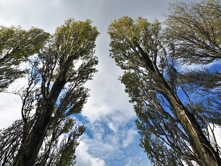 Looking up at tall poplar trees with spring leaves against a blue sky with white clouds Stock Photo