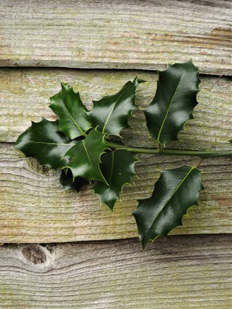 Shiny green holly leaves growing against a wooden fence Stock Photo