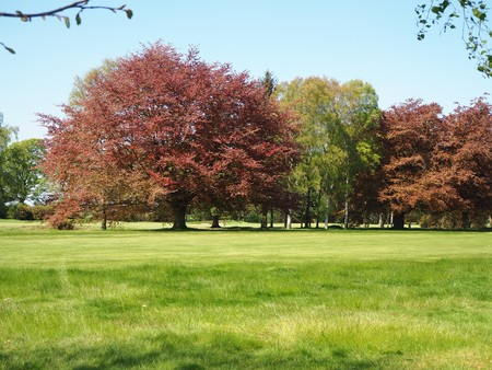 Copper beech and silver birch trees in a green field in spring