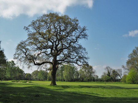 Oak tree in a field with new spring leaves Stock Photo