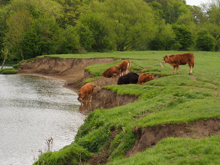 Cows having a drink in the River Wharf at Tadcaster, Yorkshire