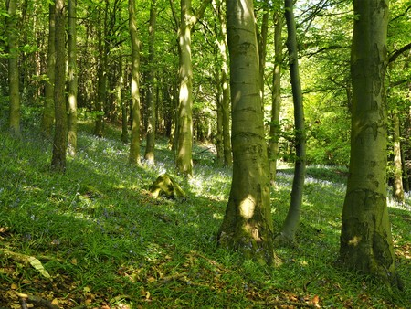 Sunlight shining through trees in a wood in spring with a few bluebells Stock Photo