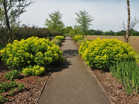 Yellow Euphorbias flowering beside a surfaced path through a field