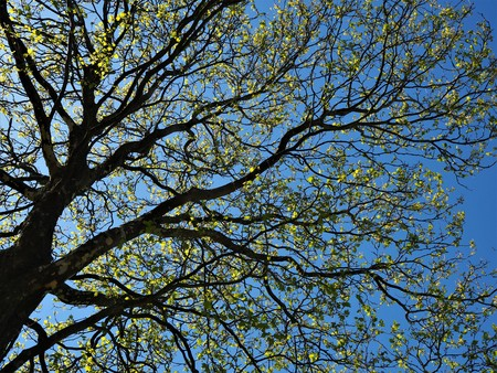 Fresh green spring leaves on the branches of a sycamore tree against a blue sky