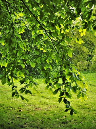 Behind a branch of a beech tree in a park in spring