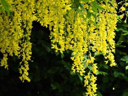 Bright yellow Laburnum flowers hanging from a branch in spring
