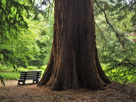 Giant redwood tree trunk and a wooden bench in a park in summer Stock Photo