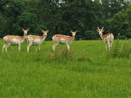 Four fallow deer looking towards the camera in a park Stock Photo