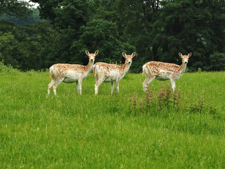 Three fallow deer looking towards the camera in a park Stock Photo