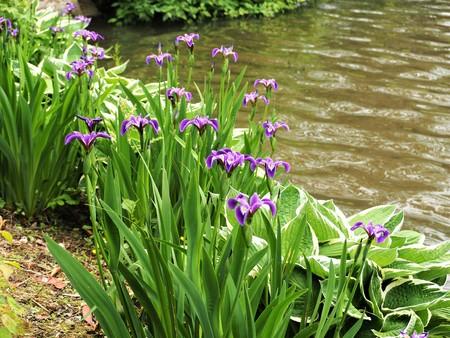 Purple irises flowering at the edge of a lake Stock Photo