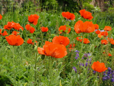 Red poppies flowering in a mixed herbaceous border