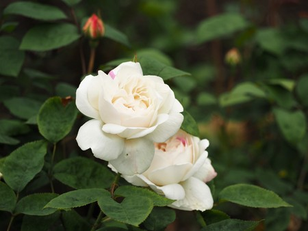 Two delicate white rose flowers and a bud on a bush