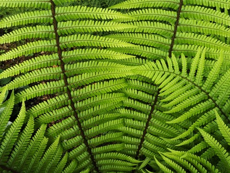 Newly unfurled leaves on a fern in spring