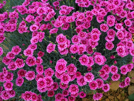 Bright pink Dianthus flowers, variety Pink Kisses
