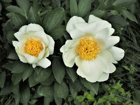 Two white peony flowers with green leaves